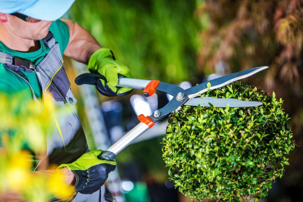 shaping shrub tree