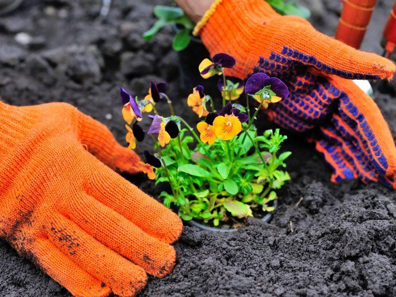 gardeners-hands-planting-flowers-in-a-garden-P844EGUsmall